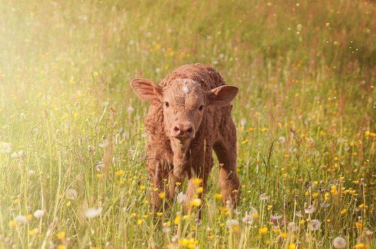 酪農の主である搾乳を終えた後は子牛への哺乳と牛舎掃除