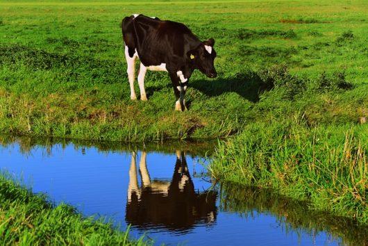 酪農家が朝一番に搾乳を行う理由とは