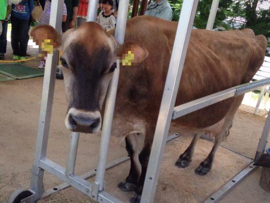 牛のかわいい画像(ジャージー種)1