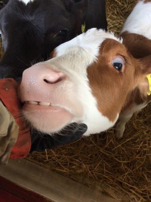 牛のかわいい牧場風景2